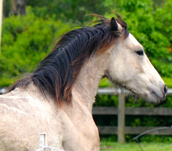 Blackwing Holden's Thunder, 2013 purebred Connemara gelding