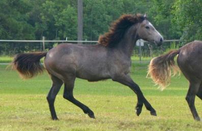 Ace as a yearling