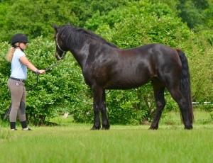 Connemara pony Glenormiston Clemma