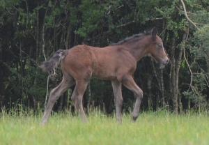 Blackwing Poker Face 2105 Connemara pony colt