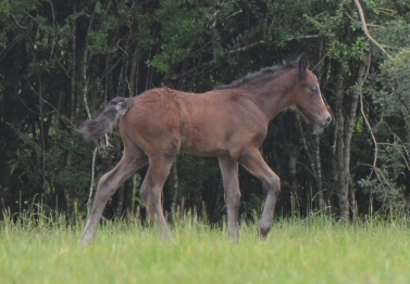 Blackwing Poker Face 2105 Connemara pony colt