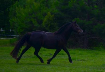 Glenormiston Clemma purebred Connemara mare