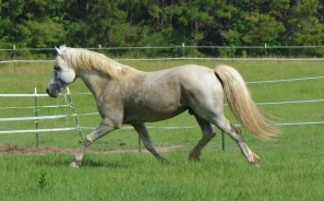 Sly (Wildwych Wily Casanova at home showing off for his mares.