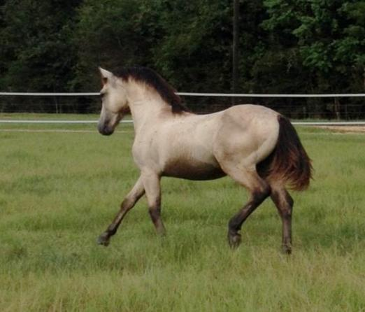 Holden as a yearling