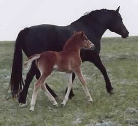 Scarlet and her dam, *Tyan Traveller's Joy