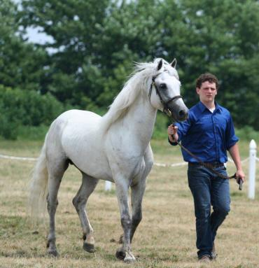 Sly in 2011 at the Midwest Connemara Breeders Show where he was Champion Stallion and Reserve Champion Connemara