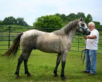 Blue Rock Fintan June 2015 with his breeder, John Keaney of Blue Rock Connemaras