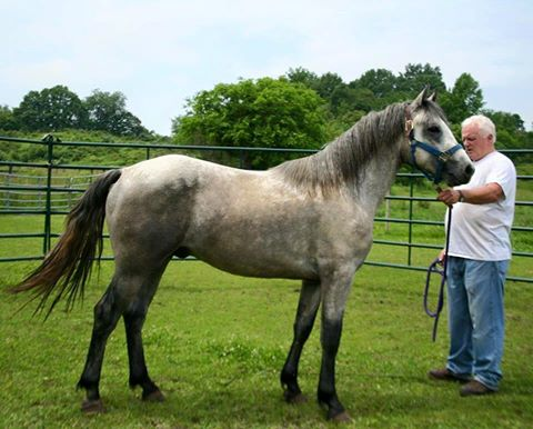 Blue Rock Fintan June 2015 with his breeder, John Keaney of Blue Rock Connemaras