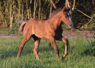 Fintan's first foal, Blackwing Tale of Desperaux aka Rosco